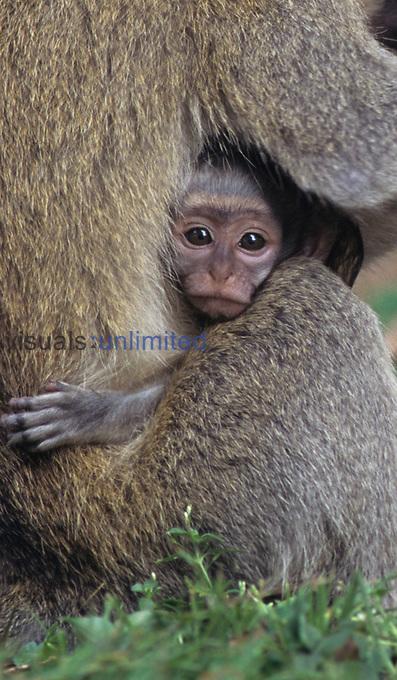Vervet Monkeys ,Cercopithecus aethiops,, Uganda.