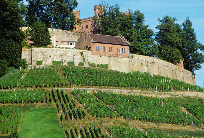 Wine vineyard and castle in Ortenau Valley. Ortenburg, Germany.