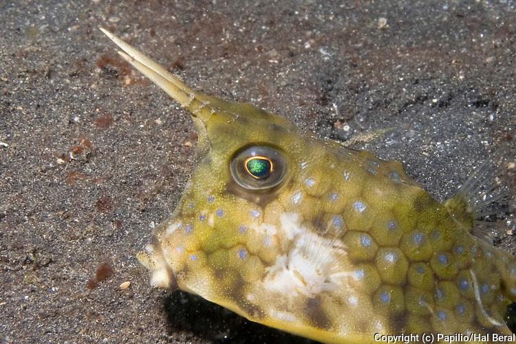 Longhorn Cowfish-closeup.(Lactoria comuta).Lembeh Straits, Indonesia