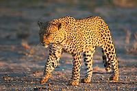 Male leopard walking in golden light
