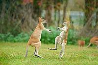 agile wallaby, or sandy wallaby, Macropus agilis, adult males, in territorial dispute, fighting on a meadow, Queensland, Australia, Oceania