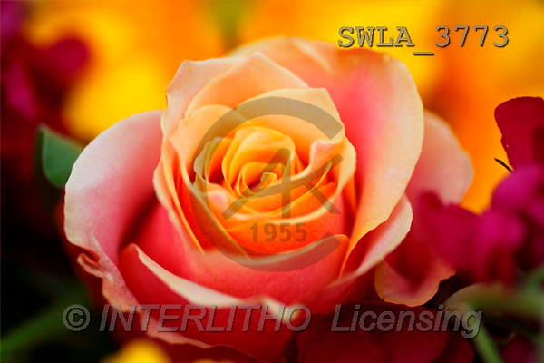 Carl, FLOWERS, portrait, macro, photos, SWLA, SWLA3773,#F# Blumen, flores, retrato