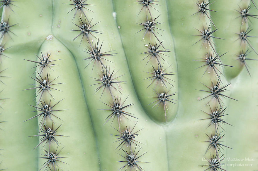 Tucson, Arizona; patterns formed by the ribs and spines of a Saguaro Cactus (Carnegiea gigantea)