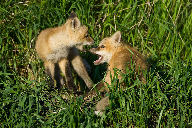 Red Fox Kits wrestling outside their den