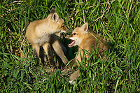 Red Fox Kits wrestling outside their den