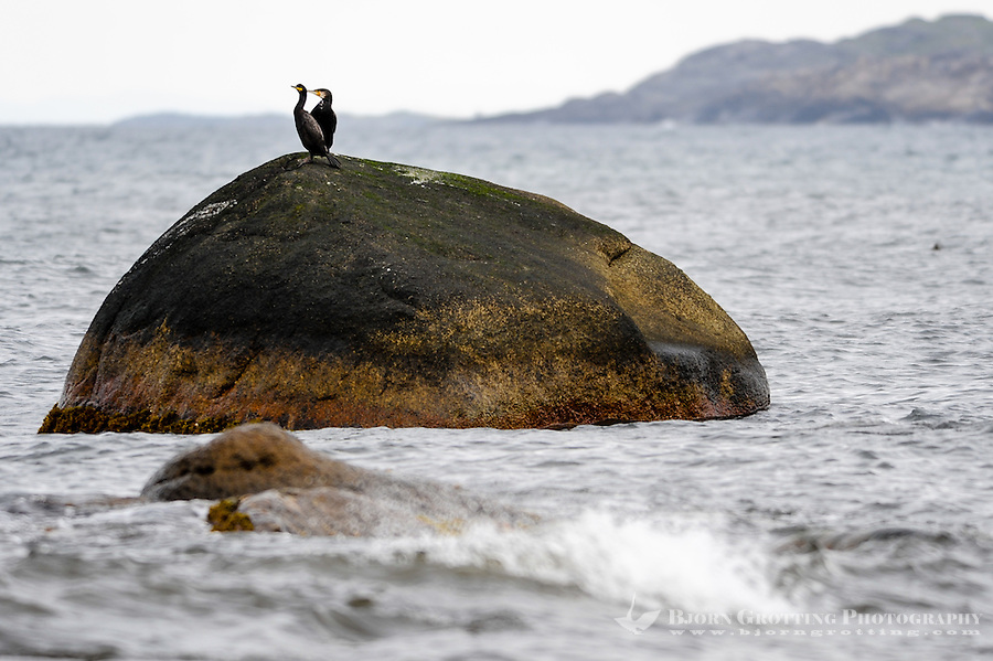 Norway, Klepp. Great Cormorant.