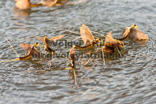 A group of long-tailed mayfliy (Palingenia longicauda) mates during their swarming on the river Tisza in Tiszainoka (some 135 km south-east from Budapest), Hungary on June 12, 2011. ATTILA VOLGYI
