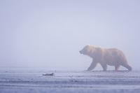 Queen walks in the fog. Kodiak grizzly bear (Ursus arctos middendorffi), Hallo Bay