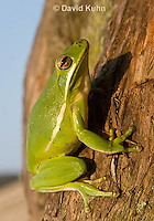 1218-1010  American Green Treefrog Climbing Tree, Hyla cinerea  © David Kuhn/Dwight Kuhn Photography