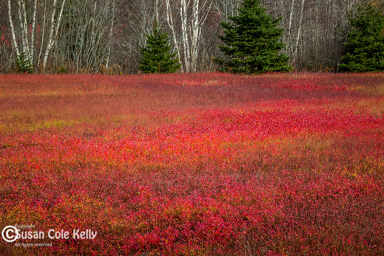 Blueberry fields in autumn, Jonesboro, Washington County, Maine, USA