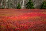 Blueberry fields in autumn, Jonesboro, Washington County, Maine, USA