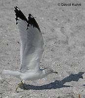 0711-0809  Ring-billed Gull Taking Flight, Larus delawarensis © David Kuhn/Dwight Kuhn Photography