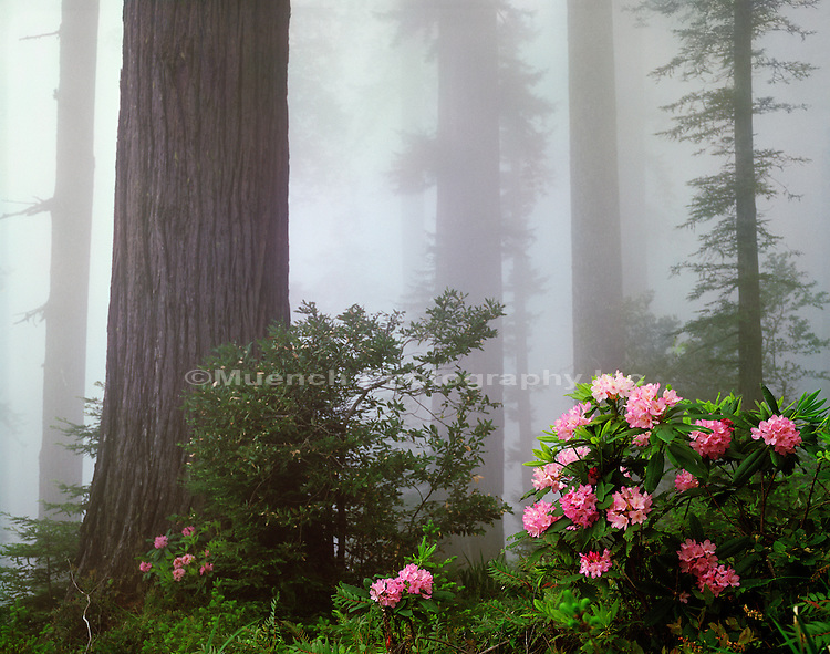 Rhododendrons,   Sequoia, Redwood Creek,   Bald Hills area Redwood National Park.