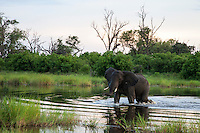 Bull elephant wading through the waters of the Okavango Delta