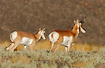 Pronghorn Male and Female, Blacktail Plateau, Yellowstone National Park, Wyoming