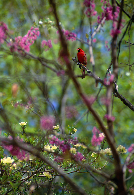 Male cardinal (Cardinalis cardinalis) perching among blooming redbud (Cercis canadensis) and dogwood (Cornus florida) branches, Colonial Heights, VA