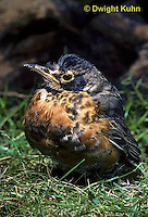 RO08-001a  American Robin - young on ground - Turdus migratorius
