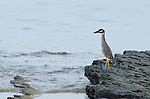 Yellow-crowned Night-Heron (Nycticorax violaceus) standing on rock at shore. Pacheca Island, Las Perlas Archipelago, Panama, Central America.