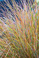Ornamental Grass Anemanthele lessoniana aka Stipa arundinacea