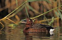 Ferruginous Duck, Aythya nyroca,male calling, Samos, Greek Island, Greece, May 2000