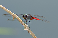 389050004 a wild male mexican scarlet-tail planiplax sanguiniventris perched on a small stick in bentsen rio grande valley state park in south texas
