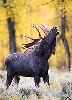 A bull moose exhibits the classic flehmen response in which he curls back his front lips and deeply inhales through his mouth in order to process scents and smells that provide specific information about his surroundings. In this case, the presence of rival bulls or the receptive condition of members of his harem during the moose rut in Northwest Wyoming. September 2016.