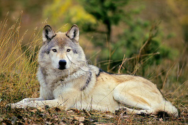Gray wolf or timber wolf (Canis lupus)