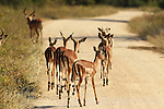 The Kruger National Park is the largest game reserve in South Africa and one of the world's biggest wildlife sanctuaries.Some Springbok walk across the road.  South Africa. Wednesday  23rd June 2010. Photo: (Steve Christo)