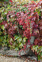 Boston Ivy in autumn fall color climbing vine with Hedera ivy climber