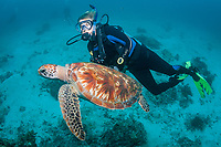 green sea turtle, Chelonia mydas, and woman scuba diver, Lady Elliot Island, Great Barrier Reef, Queensland, Australia, Coral Sea, South Pacific Ocean, MR
