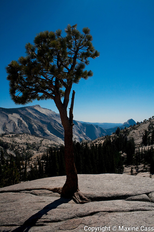 Pine tree thrusts through a granite fissure, Olmsted Point with Half Dome in the distance, Highway 120 (Tioga Pass Road), Yosemite National Park, California, United States of America