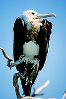 great frigatebird, Fregata minor, juvenile, Midway Atoll, Papahanaumokuakea Marine National Monumen, Northwestern Hawaiian Islands, Hawaii, USA, Pacific Ocean