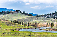 Bison enjoying the first green grass of spring along the Lamar River in Yellowstone National Park.