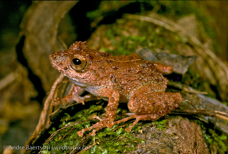 Amazonian Rain Frog (Pristimantis sp.) in lowland tropical rainforest, Tambopata National Reserve, Madre de Dios, Peru.