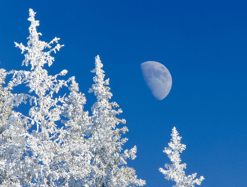 Hoar frost on trees with moon. Elkhorn Drive National Scenic Byway. Oregon