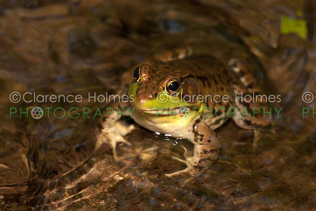A male Northern Green Frog (Rana clamitans melanota) looks out over the surface of a shallow creek.
