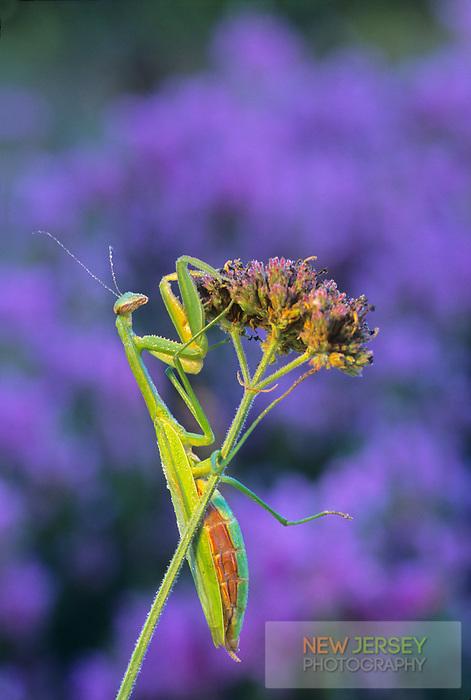 Praying Mantis, female, Mantis religiosa, Cape May, New Jersey