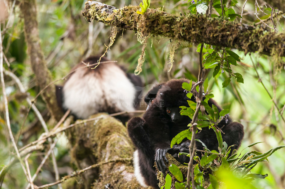 Milne Edwards«s Sifaka (Propithecus edwards)