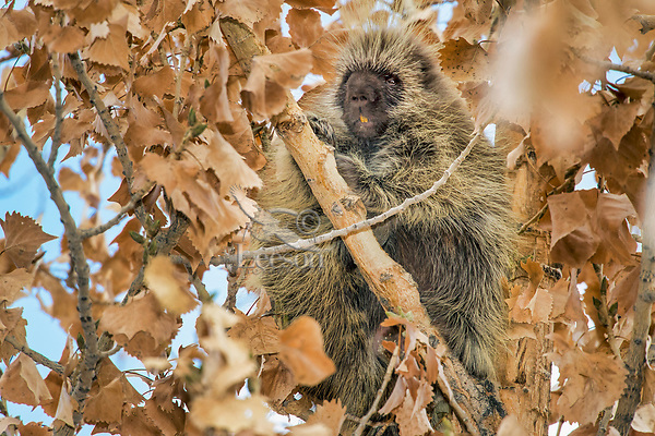 North American porcupine (Erethizon dorsatum)--also known as the Canadian porcupine or common porcupine--up in cottonwood tree.  Western U.S., late fall.