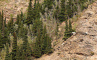 Mountain goats can be spotted from the train as it winds througha  canyon north of Denali.