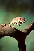 Hermelijn (Mustela erminea). .