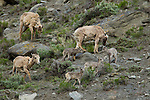 A group of bighorn sheep lambs and Ewes seen in Yellowstone National Park, May 30 2011. Photo by Gus Curtis.