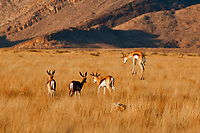 Springbok jumping high as they run away!Sesrium, Namibia