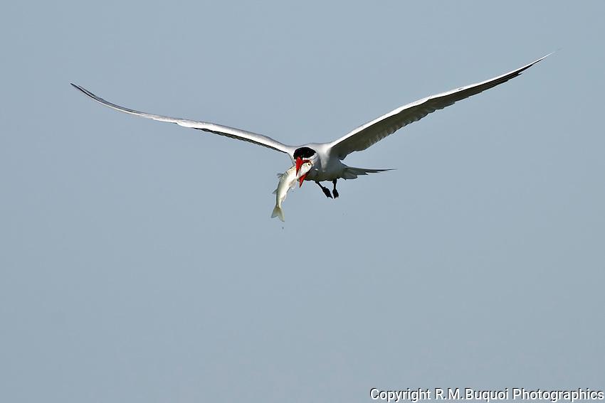 Caspian Tern with Mullet