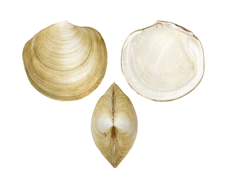 Loripes lucinalis Length to 30mm. Compact bivalve mollusc found in coarse sand, at extreme low water. Local in Brtain, foiund only on coasts of S England.