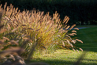 Grass garden flowering seed heads of Fountain Grass, Pennisetum alopecuroides at edge of lawn