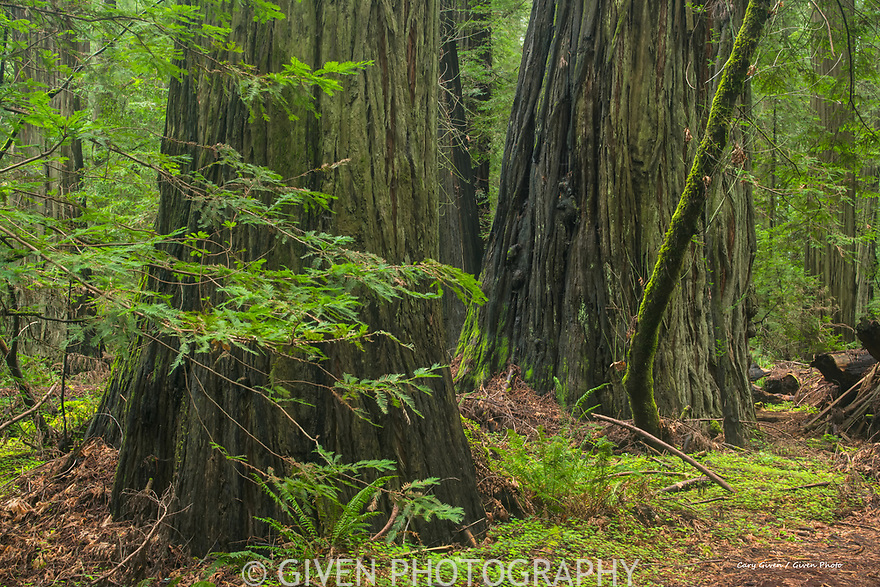 Redwood Trees in Del Norte Redwood State Park, California