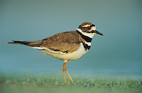 Killdeer, Charadrius vociferus, adult, Lake Corpus Christi, Texas, USA, April 2003