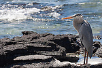 Las Bachas Beach, Santa Cruz Island, Galapagos, Ecuador; a Great Blue Heron (Ardea herodias) bird stands amongst the volcanic rocks at the water's edge , Copyright © Matthew Meier, matthewmeierphoto.com All Rights Reserved