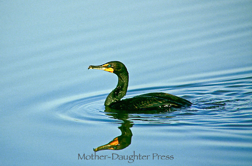 Male double-crested Cormorant, Phalacrocorax auritus, in profile with green breeding eye, swimming in New England